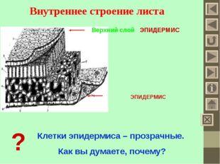 Внутреннее строение листа Верхний слой - ЭПИДЕРМИС ЭПИДЕРМИС ? Клетки эпидерм