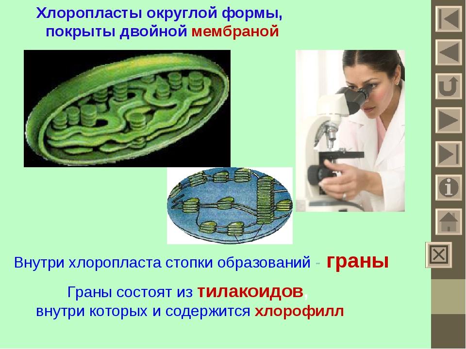 Хлоропласты округлой формы, покрыты двойной мембраной Внутри хлоропласта стоп...