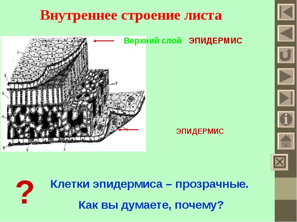 Внутреннее строение листа Верхний слой - ЭПИДЕРМИС ЭПИДЕРМИС ? Клетки эпидерм...