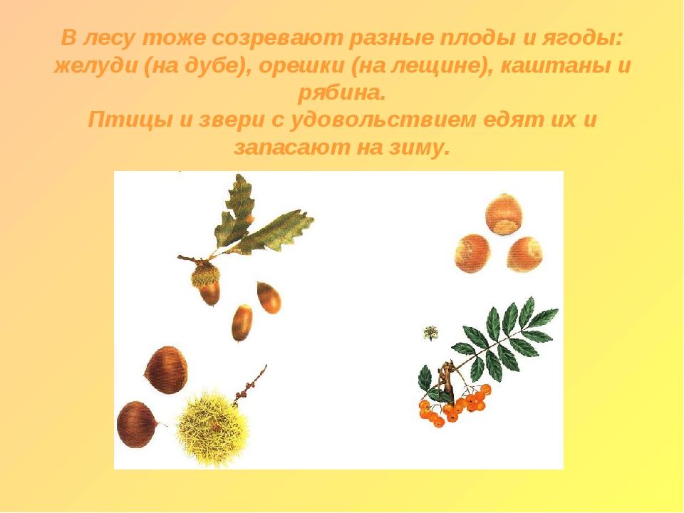 В лесу тоже созревают разные плоды и ягоды: желуди (на дубе), орешки (на лещ...