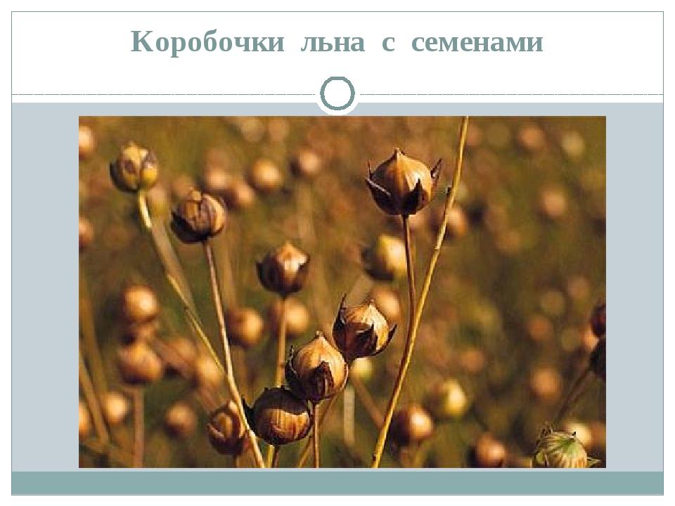 Коробочки льна с семенами