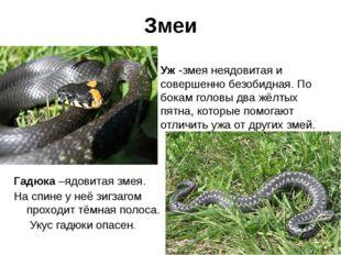 Змеи . Гадюка –ядовитая змея. На спине у неё зигзагом проходит тёмная полоса.