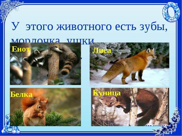 У этого животного есть зубы, мордочка, ушки, шерсть,хвост. Енот Лиса Белка Ку...