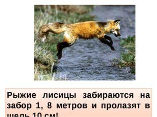 Рыжие лисицы забираются на забор 1, 8 метров и пролазят в щель 10 см!