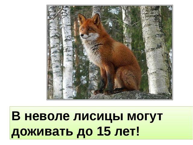 В неволе лисицы могут доживать до 15 лет!