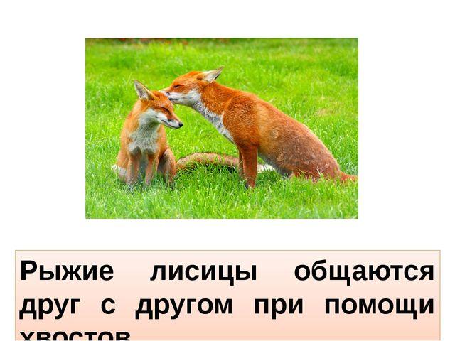 Рыжие лисицы общаются друг с другом при помощи хвостов.