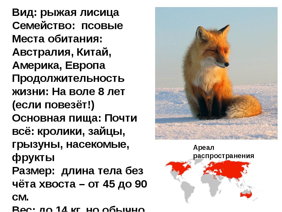 Вид: рыжая лисица Семейство: псовые Места обитания: Австралия, Китай, Америка...