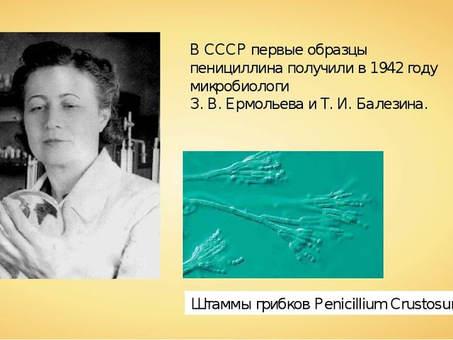 В СССР первые образцы пенициллина получили в 1942 году микробиологи З. В.Ерм...