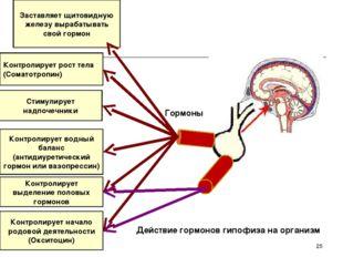 Заставляет щитовидную железу вырабатывать свой гормон Контролирует рост тела