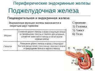 Периферические эндокринные железы Пищеварительная и эндокринная железа Поджел