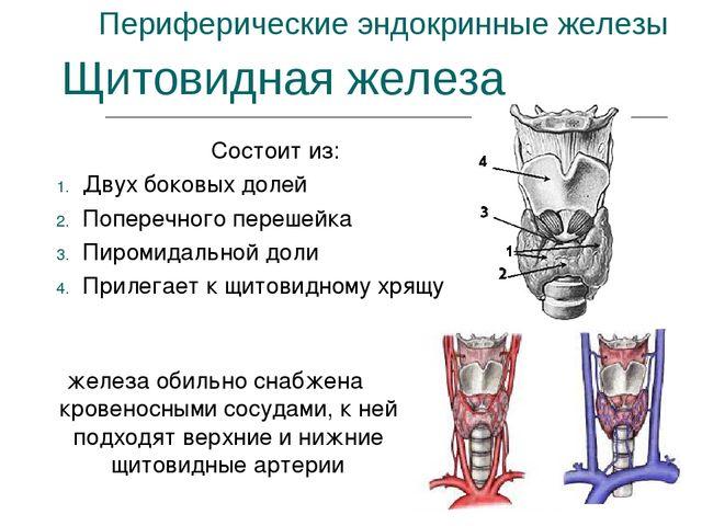 Периферические эндокринные железы Состоит из: Двух боковых долей Поперечного...