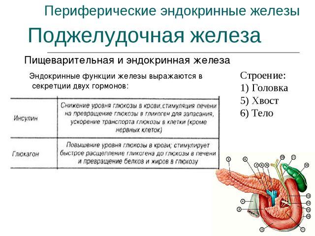 Периферические эндокринные железы Пищеварительная и эндокринная железа Поджел...