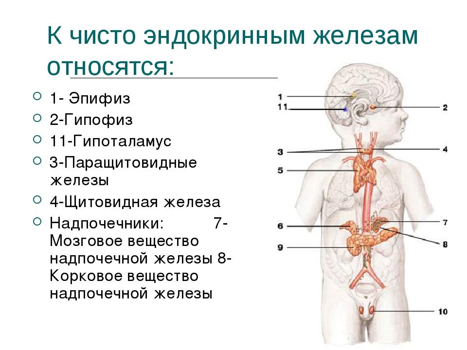 К чисто эндокринным железам относятся: 1- Эпифиз 2-Гипофиз 11-Гипоталамус 3-П...