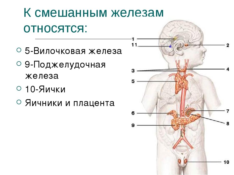 К смешанным железам относятся: 5-Вилочковая железа 9-Поджелудочная железа 10-...