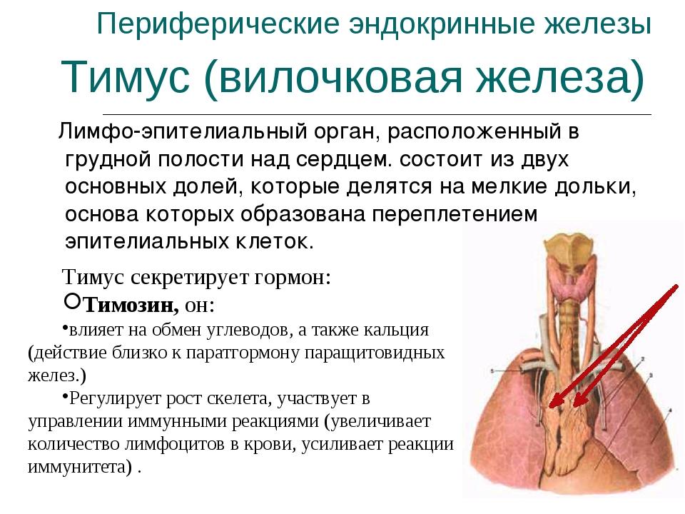 Периферические эндокринные железы Лимфо-эпителиальный орган, расположенный в...