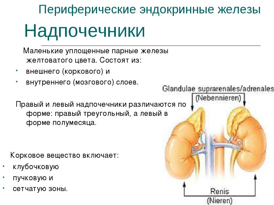 Периферические эндокринные железы Маленькие уплощенные парные железы желтоват...