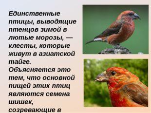Единственные птицы, выводящие птенцов зимой в лютые морозы, — клесты, которые