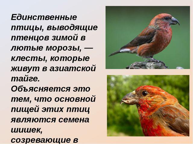 Единственные птицы, выводящие птенцов зимой в лютые морозы, — клесты, которые...