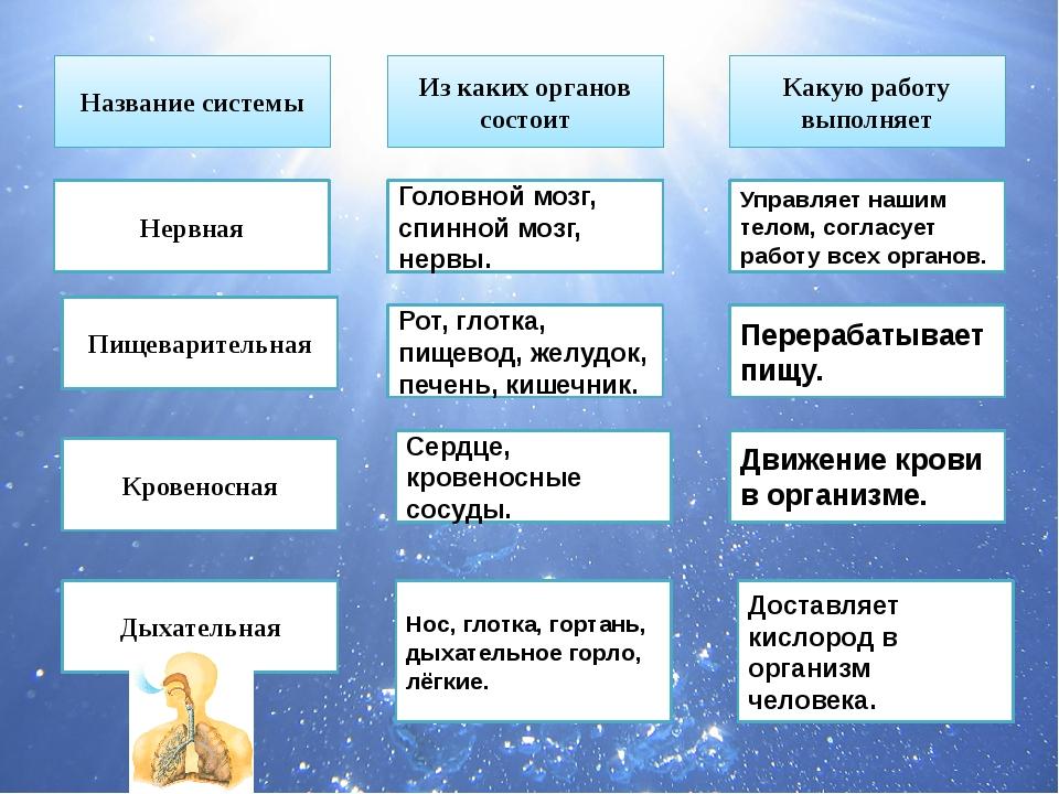 Название системы Из каких органов состоит Какую работу выполняет Нервная Голо...