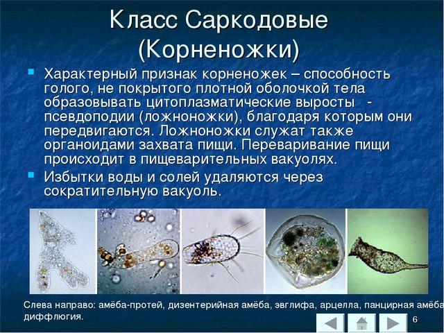 Класс Саркодовые (Корненожки) Характерный признак корненожек – способность го...