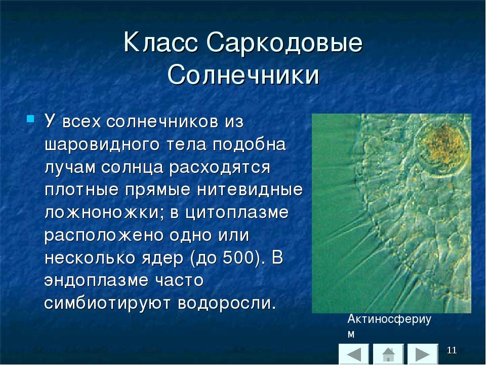 Класс Саркодовые Солнечники У всех солнечников из шаровидного тела подобна лу...