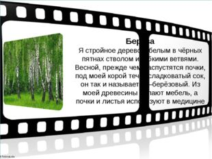 Берёза Я стройное дерево с белым в чёрных пятнах стволом и гибкими ветвями.