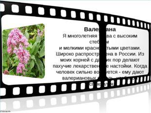 Валериана Я многолетняя трава с высоким стеблем и мелкими красноватыми цвета