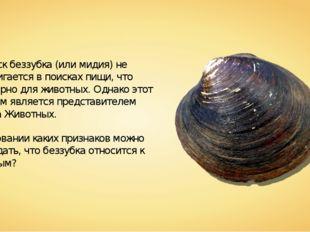 Моллюск беззубка (или мидия) не передвигается в поисках пищи, что характерно