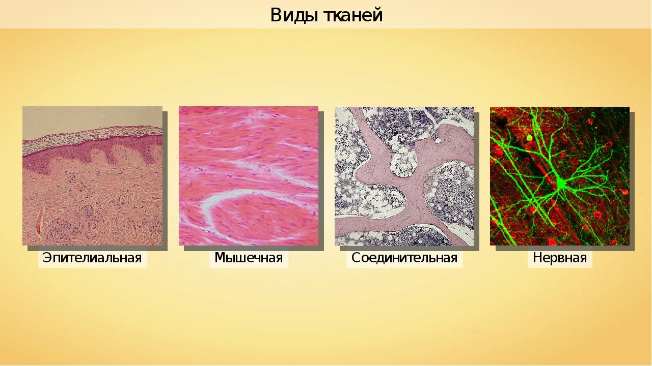 Мышечная Эпителиальная Соединительная Нервная Виды тканей