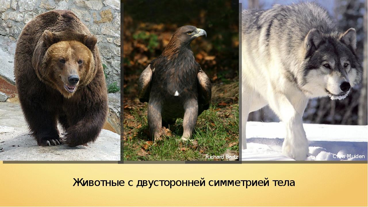Животные с двусторонней симметрией тела Chris Muiden Richard Bartz Simm
