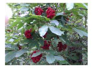 На прощание лес радует нас яркими гроздьями бузины.