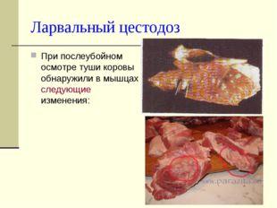 Ларвальный цестодоз При послеубойном осмотре туши коровы обнаружили в мышцах