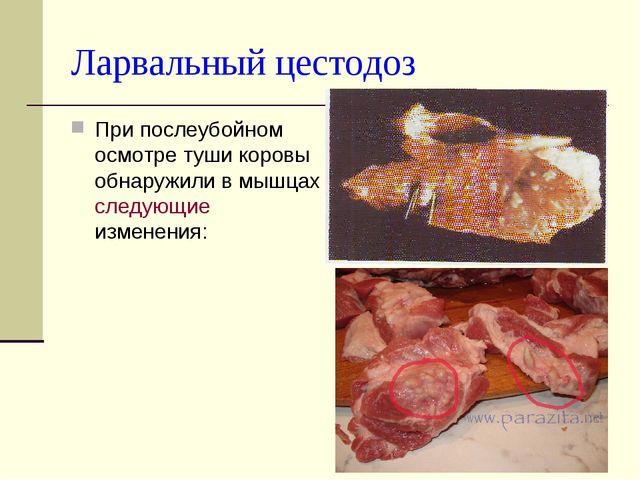 Ларвальный цестодоз При послеубойном осмотре туши коровы обнаружили в мышцах...
