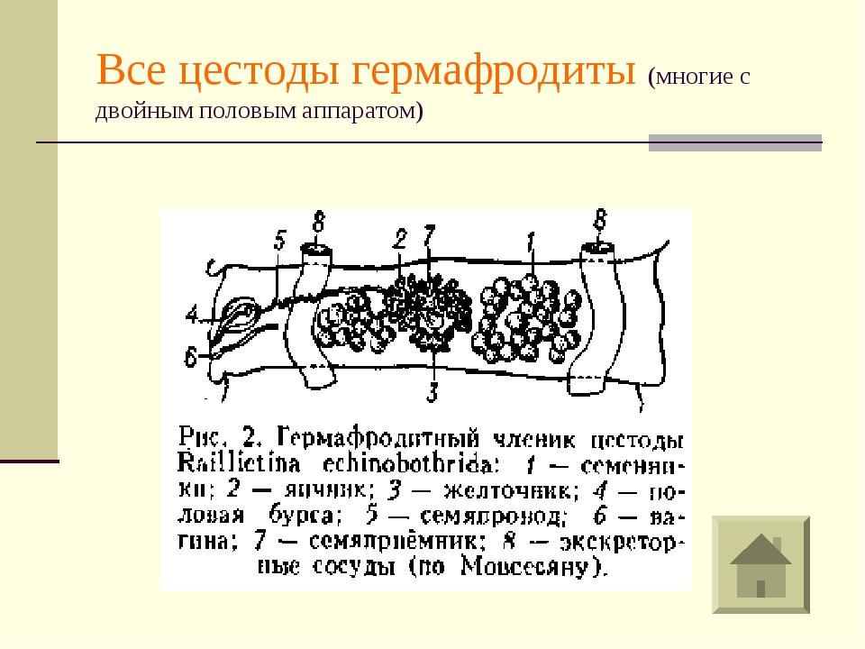 Все цестоды гермафродиты (многие с двойным половым аппаратом)