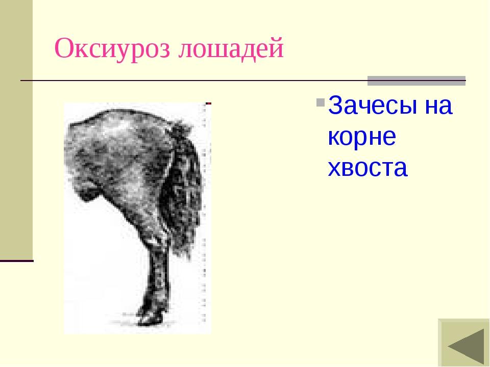 Оксиуроз лошадей Зачесы на корне хвоста