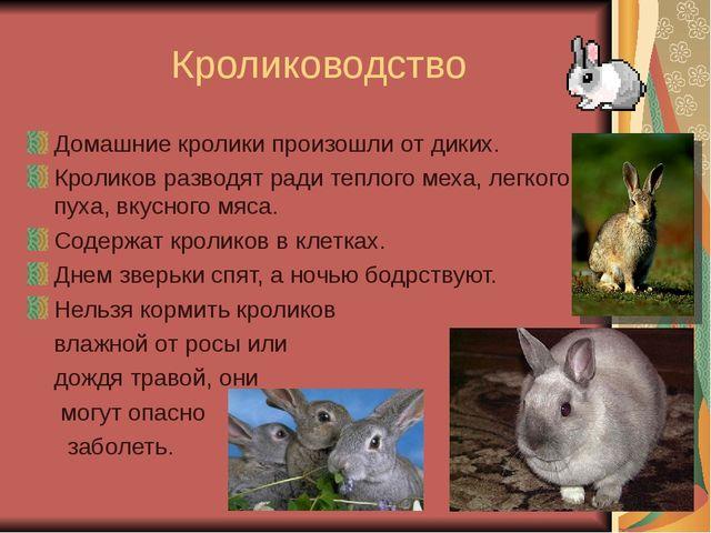 Кролиководство Домашние кролики произошли от диких. Кроликов разводят ради т...