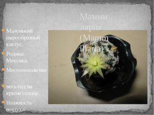 Маленький шарообразный кактус. Родина: Мексика. Местоположение: весь год на я