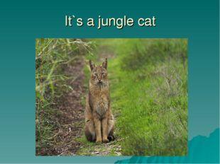 It`s a jungle cat