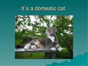 It`s a domestic cat.