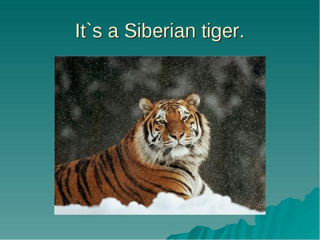 It`s a Siberian tiger.