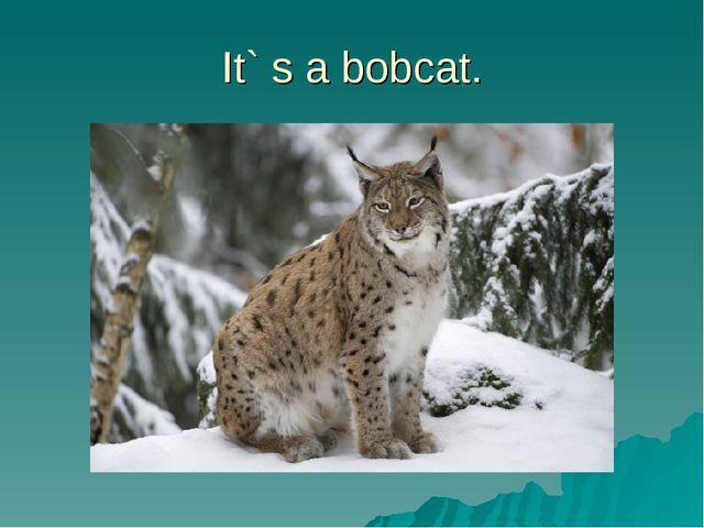 It` s a bobcat.