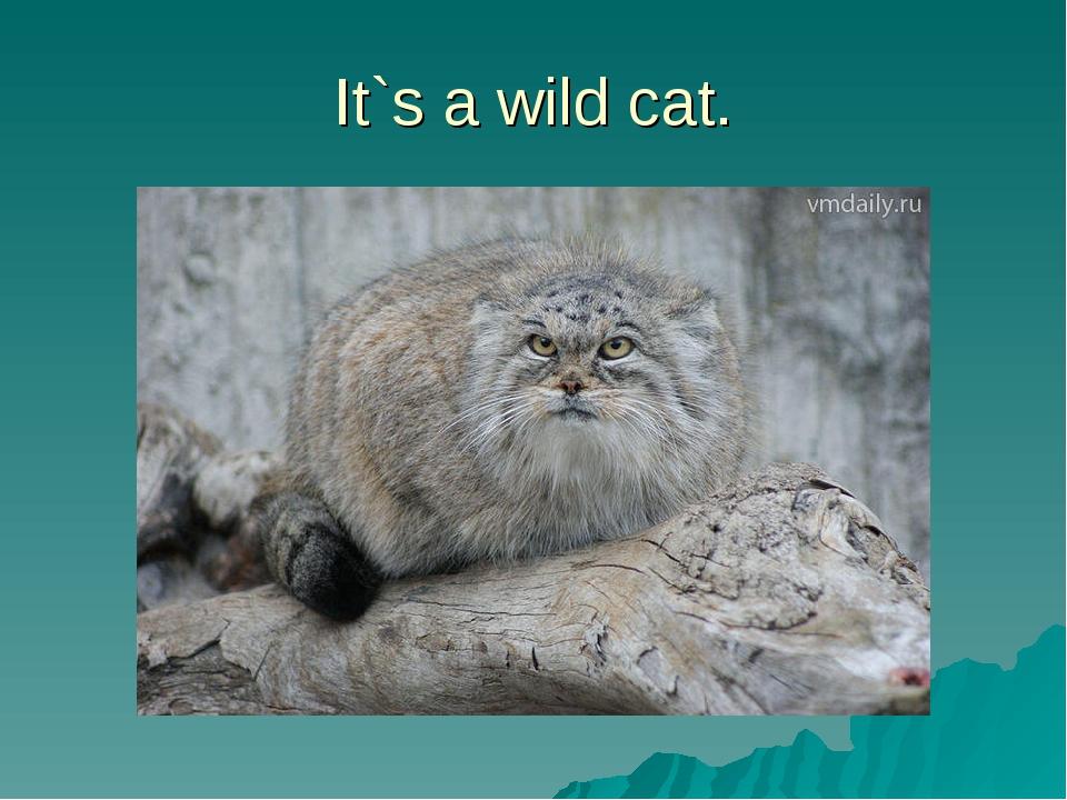 It`s a wild cat.