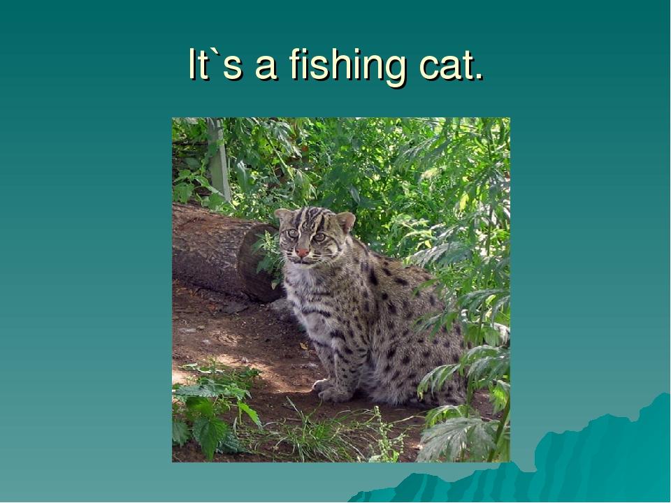 It`s a fishing cat.