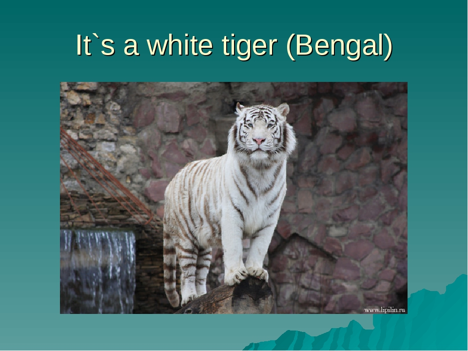 It`s a white tiger (Bengal)