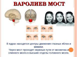 ВАРОЛИЕВ МОСТ В ядрах находятся центры движения глазных яблок и мимики. Через