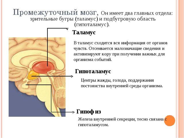 Промежуточный мозг, Он имеет два главных отдела: зрительные бугры (таламус) и...