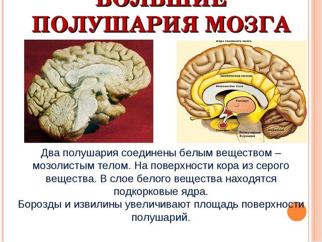 БОЛЬШИЕ ПОЛУШАРИЯ МОЗГА Два полушария соединены белым веществом – мозолистым...