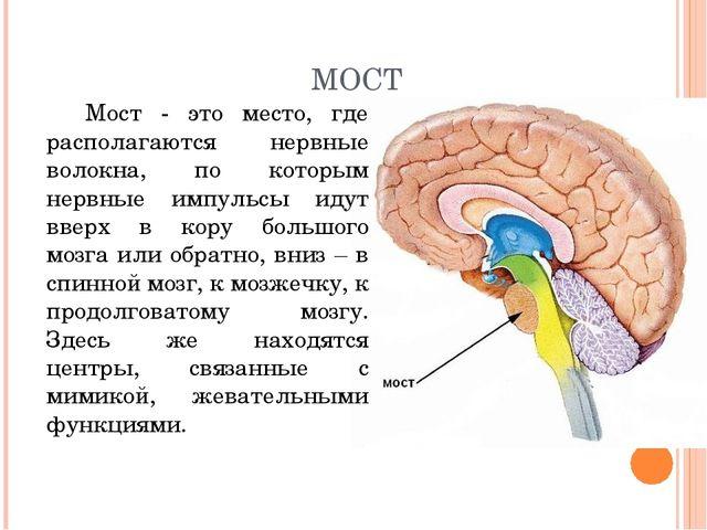 МОСТ Мост - это место, где располагаются нервные волокна, по которым нервные...