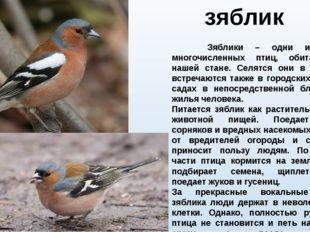 зяблик Зяблики – одни из самых многочисленных птиц, обитающих в нашей стане.