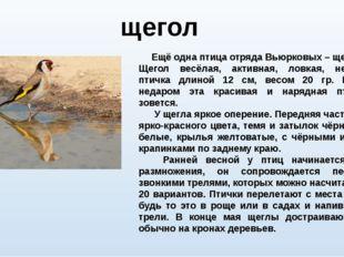 Ещё одна птица отряда Вьюрковых – щегол. Щегол весёлая, активная, ловкая, не